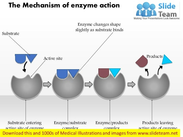 Products leaving active site of enzyme Enzyme/products complex Enzyme/substrate complex Substrate entering active site of ...