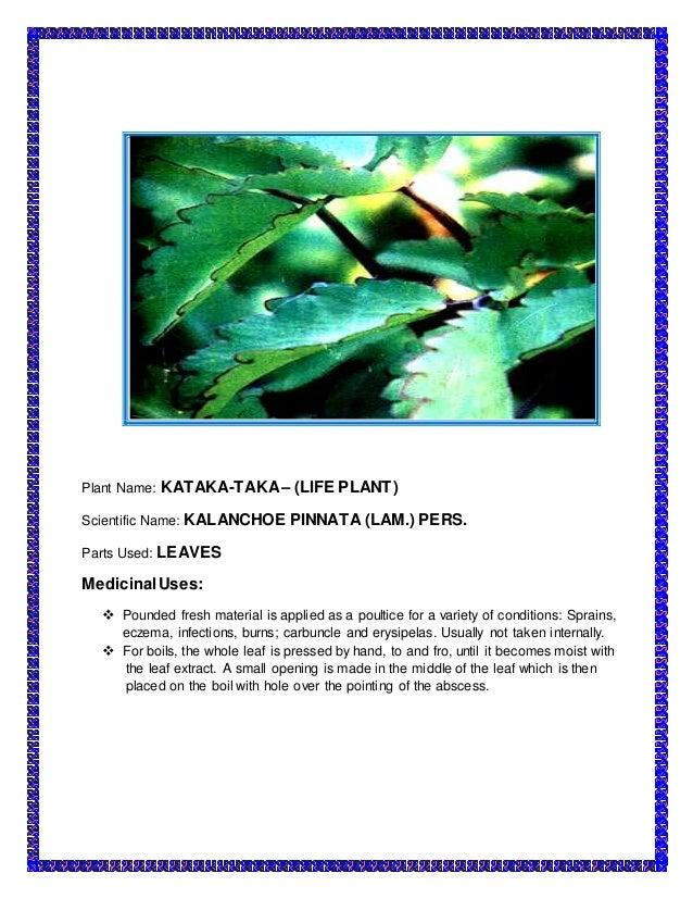 tabernaemontana pandacaqui poir pandakaki puti ointment on The medicinal plants 1 science – project the medicinal plants  pandakaki - puti scientific name: tabernaemontana pandacaqui poir parts used: leaves, barks and .