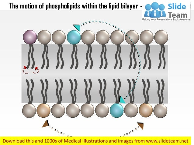 The motion of phospholipids within the lipid bilayer medical images for power point Slide 2