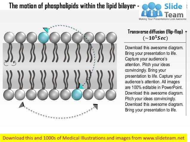 The motion of phospholipids within the lipid bilayer medical images for power point Slide 3