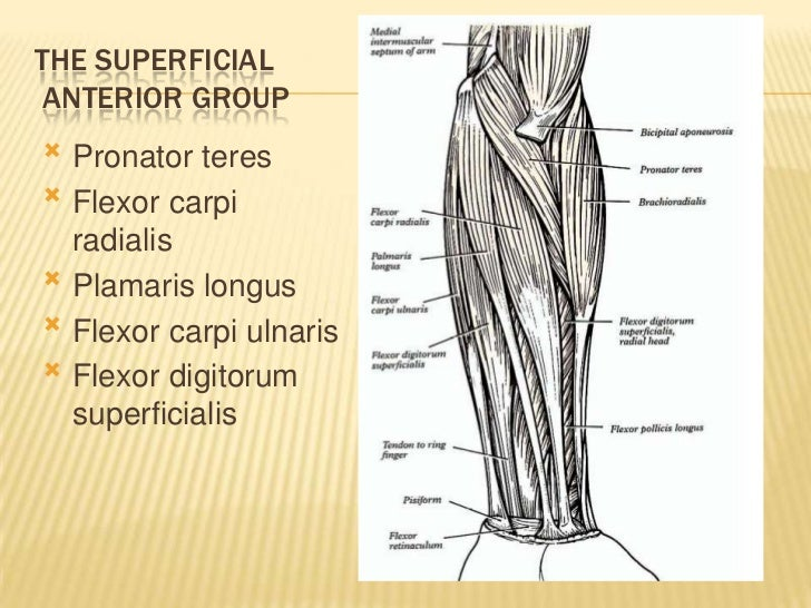 The Muscles Of The Upper And Lower Limb