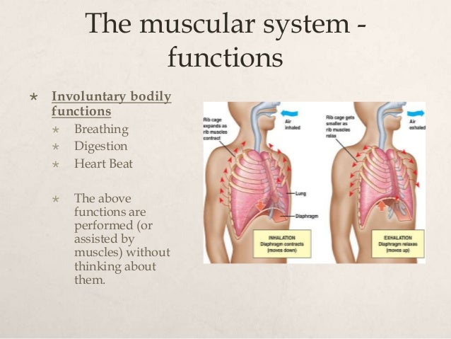 the muscular system, Muscles