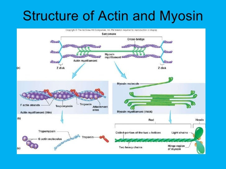 Actin structure and function.