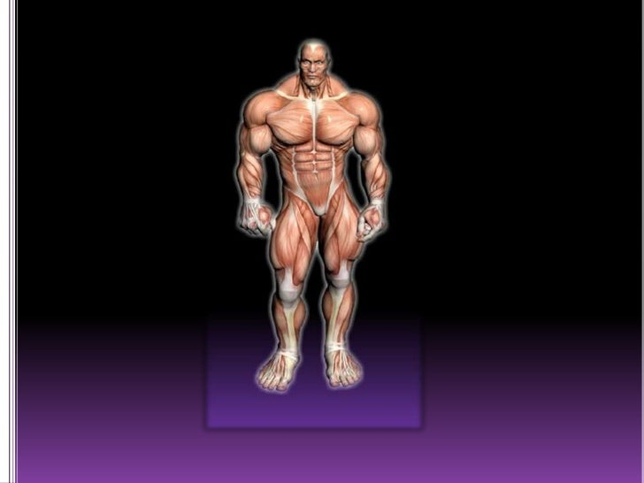 the muscular system (slide show), Muscles