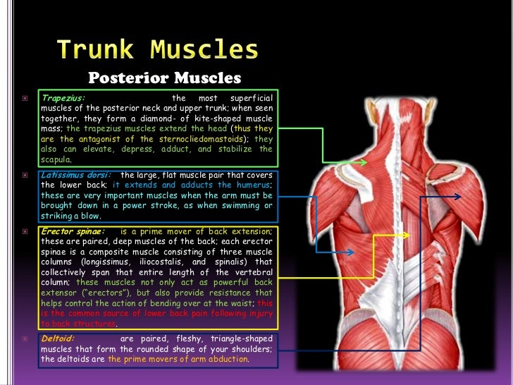 The Muscular System Slide Show