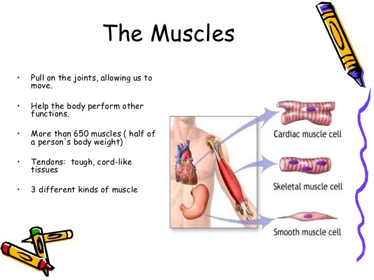 an analysis of the musculoskeletal system made up of bones joints and muscles Human muscular system – the muscles of the human body  intercalated disks are made up of fingerlike  skeletal muscles work together with bones and joints to.