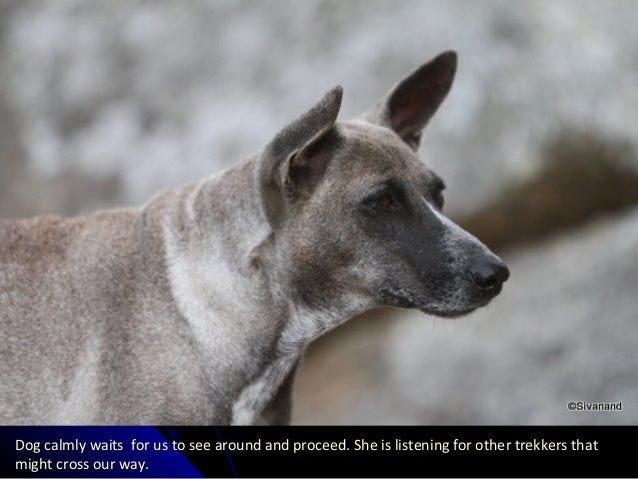 Dog calmly waits for us to see around and proceed. She is listening for other trekkers that might cross our way.