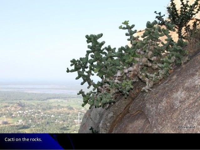 Cacti on the rocks.