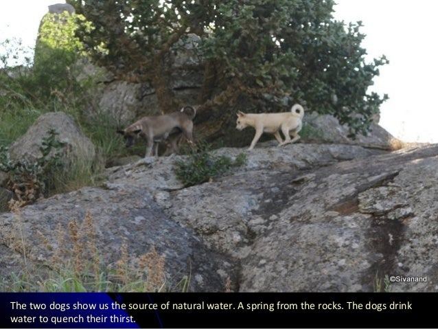 The two dogs show us the source of natural water. A spring from the rocks. The dogs drink water to quench their thirst.