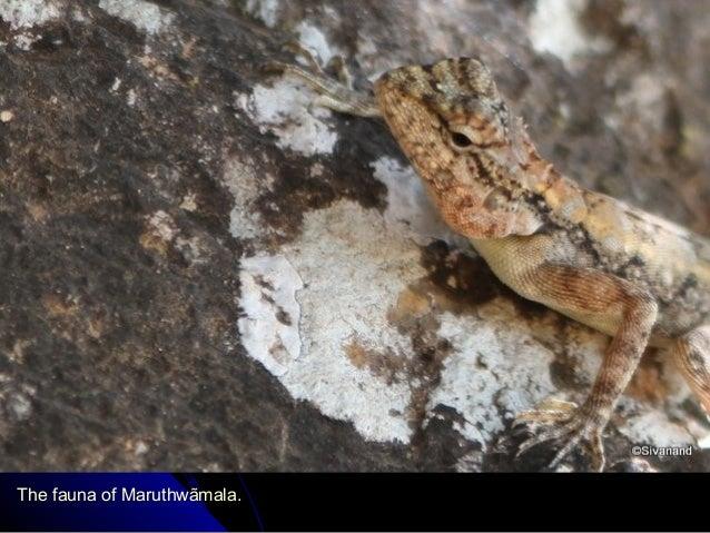 The fauna of Maruthwãmala.