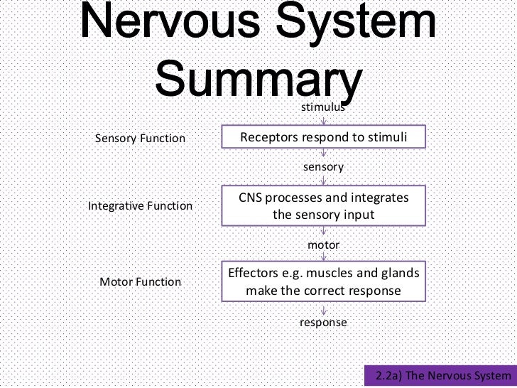 E  Nervous System Neurons and Synapses in addition Apcontent likewise Visual System also Interactive Projection besides . on in sensory system
