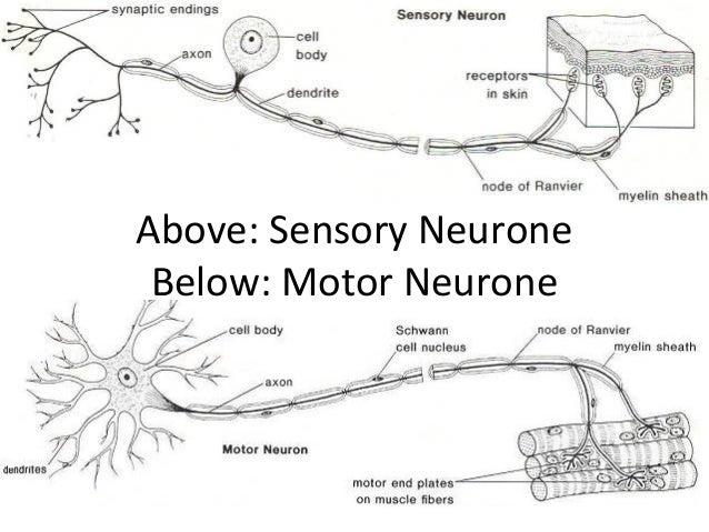 The nervous system above sensory neurone below motor neurone ccuart Image collections