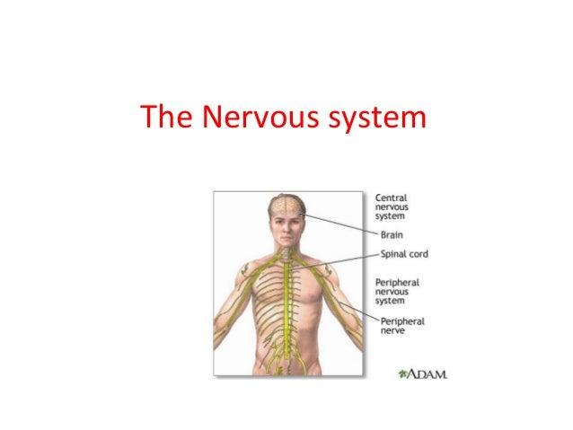 The nervous system the nervous system 1 638gcb1386923019 ccuart Image collections