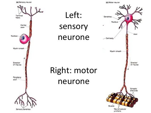 The nervous system left sensory neurone right motor neurone ccuart Image collections