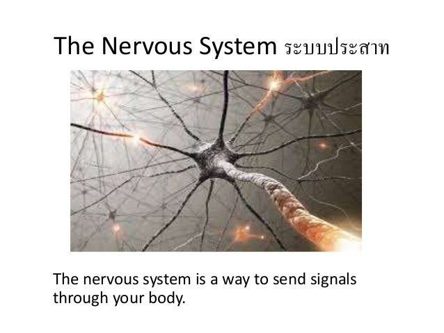 The Nervous System ระบบประสาท The nervous system is a way to send signals through your body.