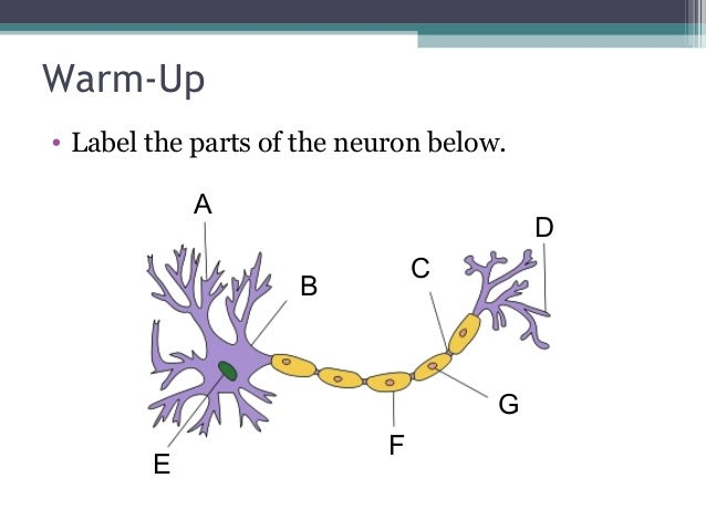 Anatomy physiology lecture notes the nervous system warm up label the parts of the neuron below ccuart Images