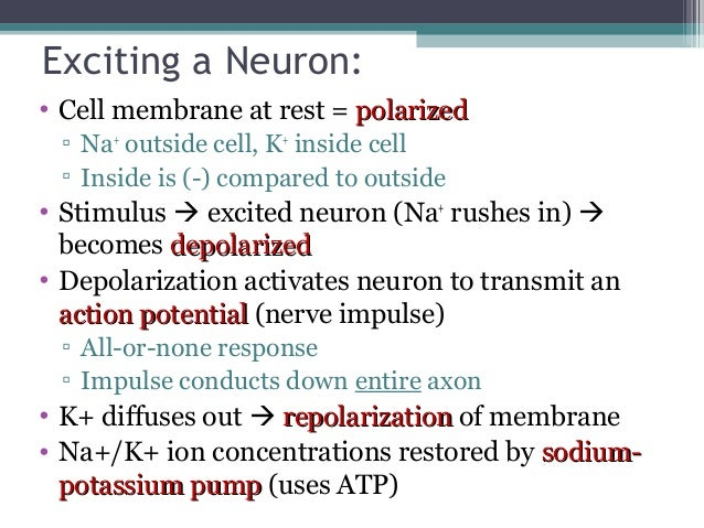 Anatomy Amp Physiology Lecture Notes The Nervous System