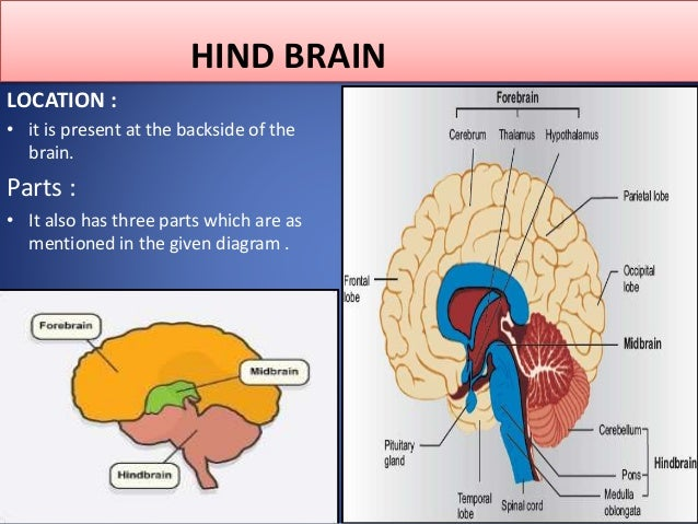 the nervous system, its types, the human brain, functions Area of Brain Pain