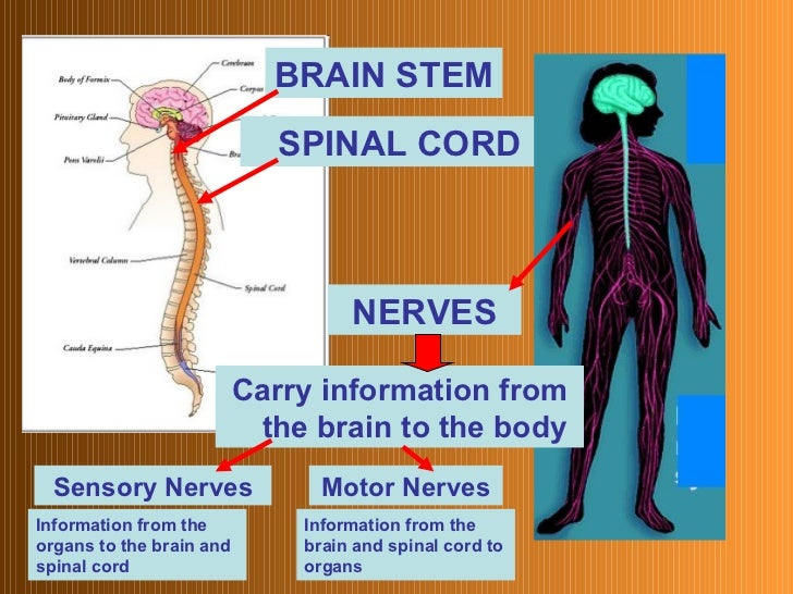 3 major functions of the nervous system