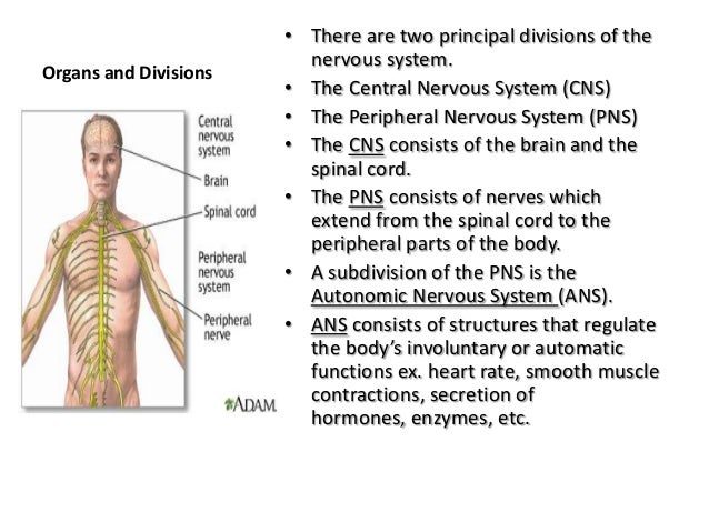 Anatomy And Physiology The Nervous System 012313