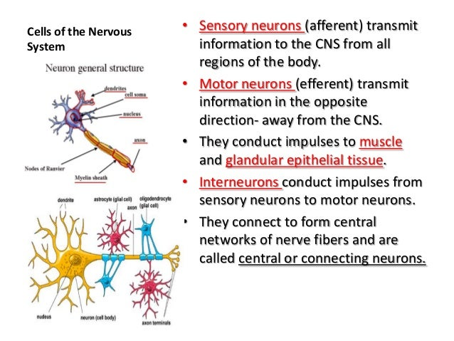 Neuron Diagram Anatomy And Physiology - Complete Wiring Diagrams •