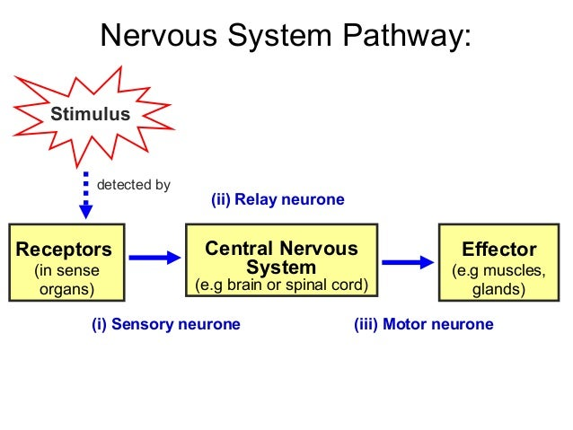 Nervous System Pathway images