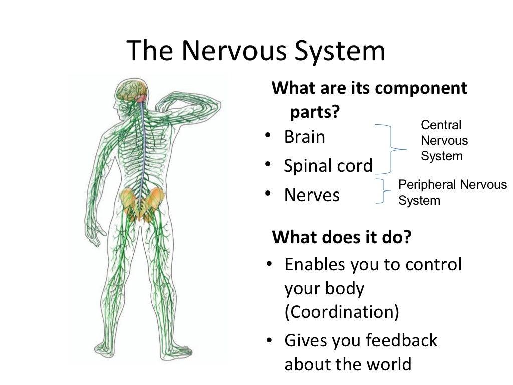 Short essay on Human Nervous System