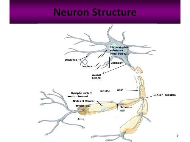 The nervous system presentation dawn part 1