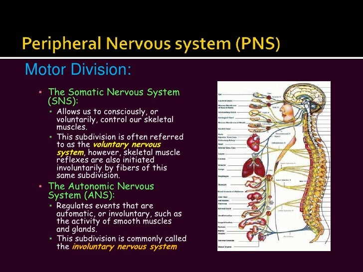 The Nervous System Slide Show