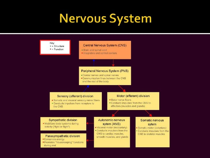 The nervous system slide show br 24 central nervous system toneelgroepblik