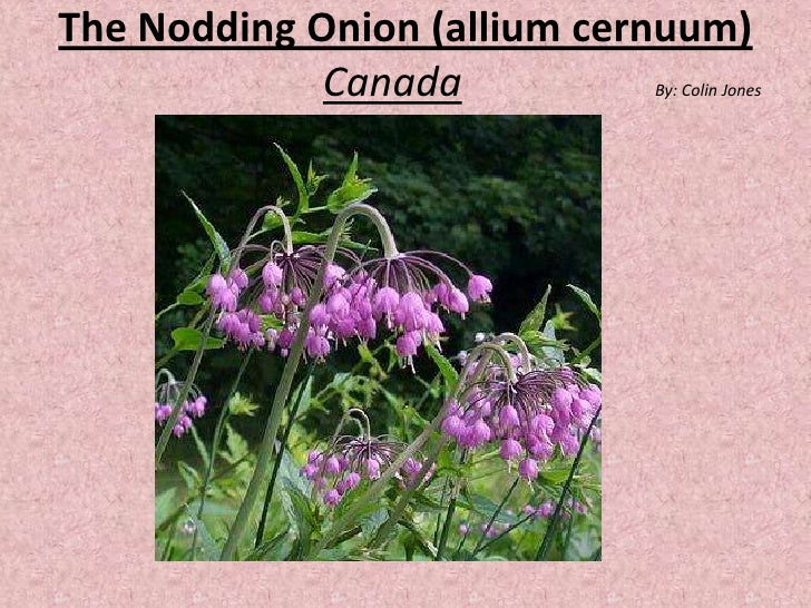 The Nodding Onion (alliumcernuum)CanadaBy: Colin Jones <br />