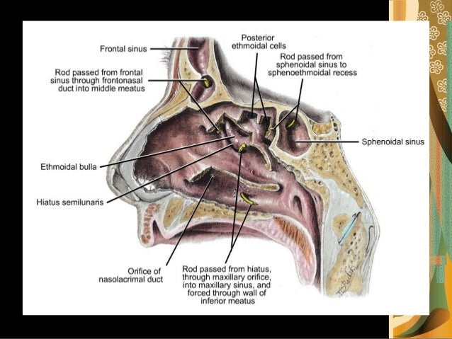 anatomy of the nose, Human Body