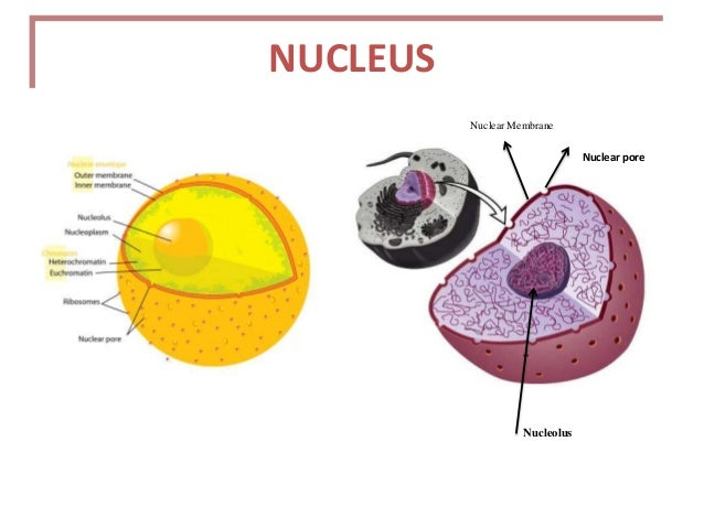 the nucleus by ayaz rangrez, Human Body