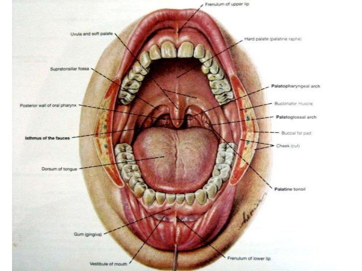 the oral cavity, Human Body