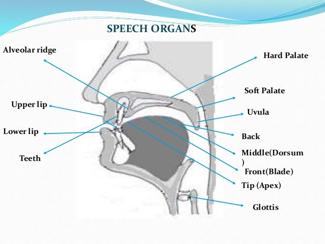 The organs of speech glottis speech organs 5 descriptions for different ccuart Choice Image