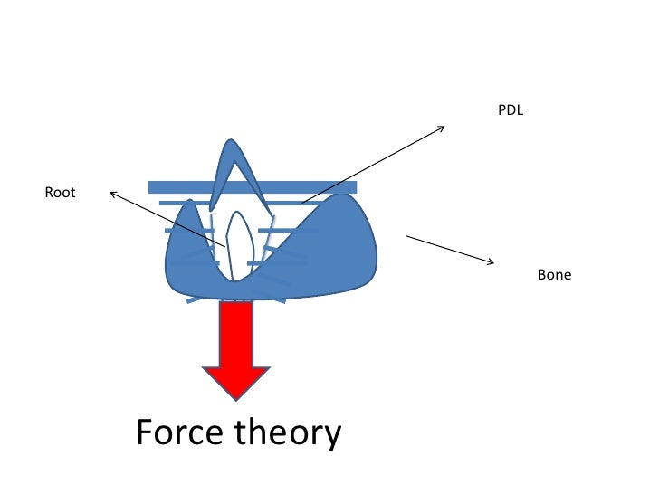 Theories of eruption of teeth pdl root bone force theory 8 ccuart Images