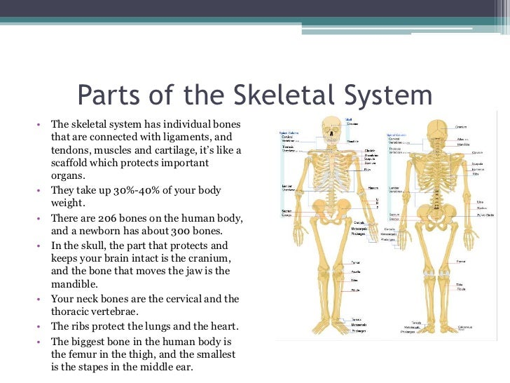 the structure of the human skeleton and the functions of each part Types of skeletal systems each disc is part of a joint that allows for some movement of the describe the bones and functions of the human appendicular skeleton.