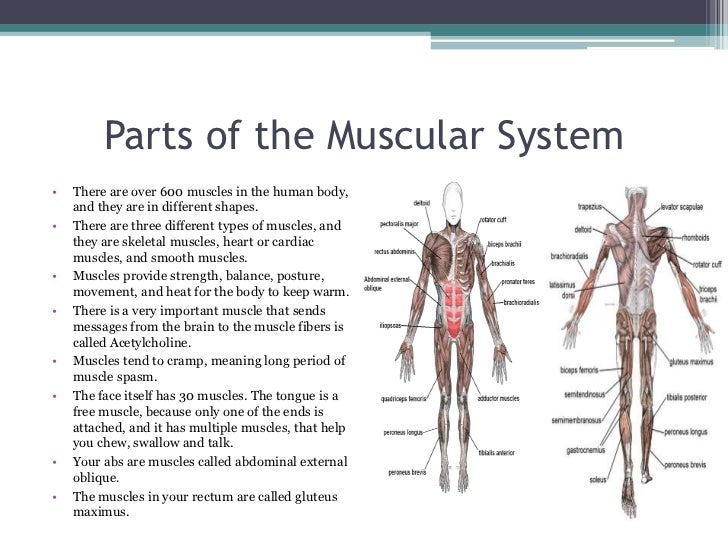 Muscular System Parts 116