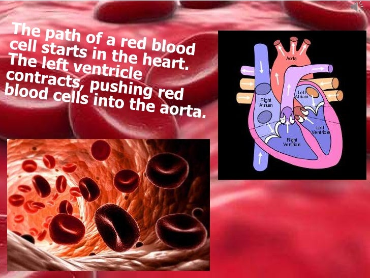pathway of red blood cells The little red blood cell michael knight, grade 6, vic short story whoosh.