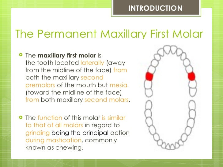The Permanent Maxillary First Molar Slide 2