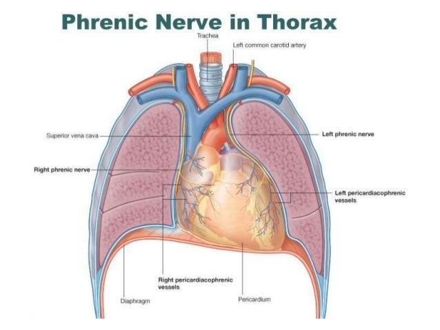 Phrenic Nerve Diagram Trusted Wiring Diagram