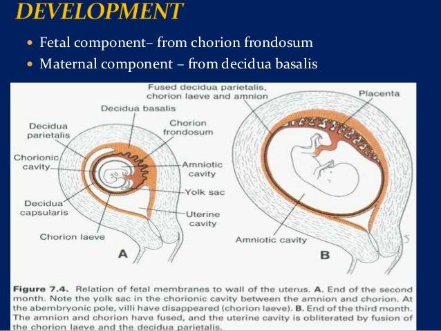Human Fetus The placenta and fetal...