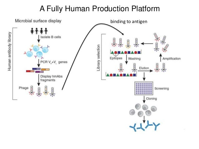 Therapeutic Antibodies 5 Humanization