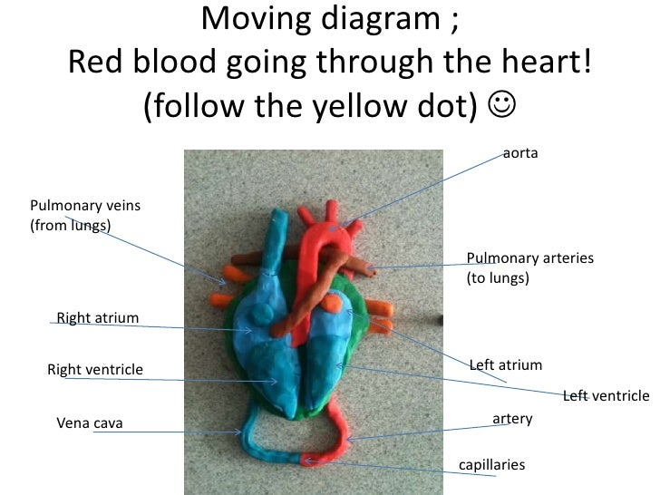 Heart and lungs diagram ks2 product wiring diagrams the red heart journey rh slideshare net heart and lung anatomy heart and lungs model ccuart Choice Image
