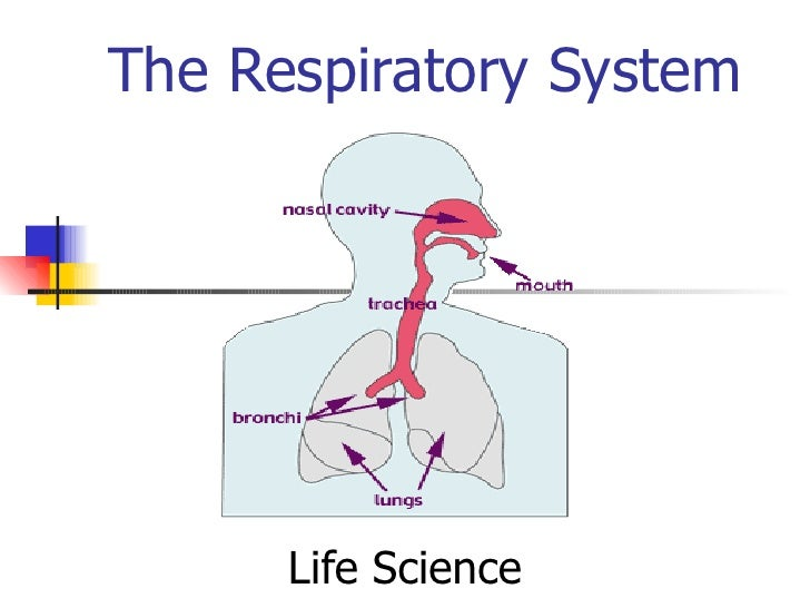 The Respiratory System Life Science