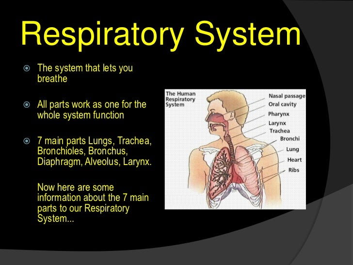 Functions Of The Respiratory System Kubreforic