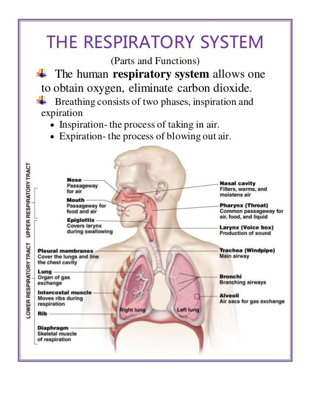 what is the function of the breathing system