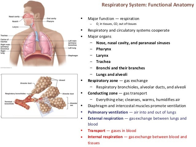 respiratory system comparative anatomy notes Vertebrates: comparative anatomy, function,  take notes and search within your ebook  11 the respiratory system.