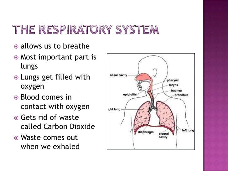 Respiratoryanatomy Power Point: The Respiratory System Power Point