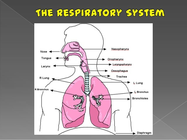The respiratory system report xxxx 3 ccuart Choice Image